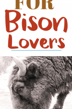 20 Gifts for Bison Lovers