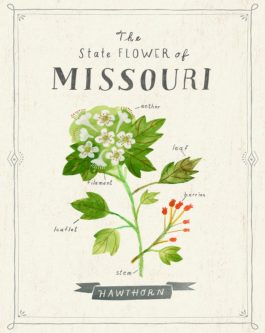 missouri state flower lily birth month flower gift ideas for may