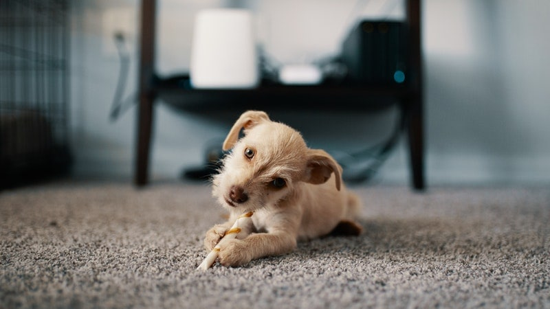 dog chewing rawhide 5 things not to give your puppy